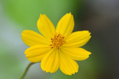 amarelo das flores no jardim Foto de Stock