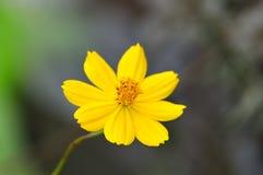 amarelo das flores no jardim Fotografia de Stock