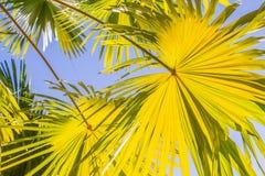 Amarelo das folhas de palmeira fotos de stock