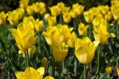 Amarelo das tulipas Imagens de Stock