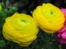 Amarelo de Asiaticus do ranúnculo em Rose Garden Imagens de Stock Royalty Free