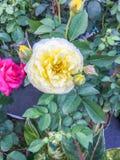 Amarelo de Rosa Foto de Stock Royalty Free
