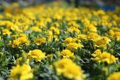 Amarelo de Tagetes Patula Fotos de Stock