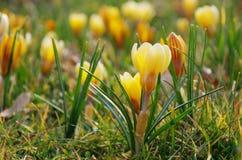 Amarelo do açafrão Fotos de Stock Royalty Free