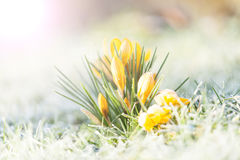 Amarelo do açafrão na geada da manhã Fotos de Stock Royalty Free