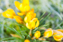 Amarelo do açafrão na geada da manhã Fotografia de Stock Royalty Free