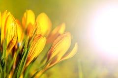 Amarelo do açafrão na geada da manhã Fotos de Stock