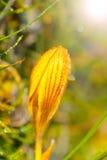 Amarelo do açafrão na geada da manhã Imagem de Stock