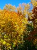 Amarelo 2 do céu azul das folhas de bordo do outono foto de stock