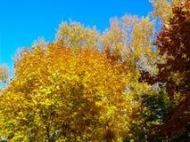 Amarelo 1 do céu azul das folhas de bordo do outono foto de stock royalty free
