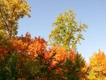 Amarelo 23 do céu azul das folhas de bordo do outono Fotos de Stock Royalty Free