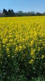 Amarelo do campo da violação Foto de Stock