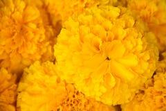 Amarelo do cravo-de-defunto Imagem de Stock Royalty Free