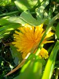 Amarelo do dente-de-leão fotos de stock