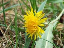 Amarelo do dente-de-leão Imagem de Stock Royalty Free