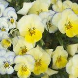 Amarelo do fundo e luz - pansies azuis Fotografia de Stock Royalty Free