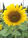 Amarelo do girassol Imagens de Stock Royalty Free