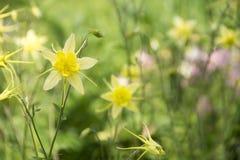 Amarelo do híbrido de Aquilegia Foto de Stock