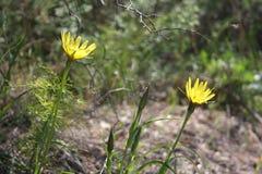 Amarelo do Hawkweed dente-de-leão-como flores Ao princípio de abril flores da floresta imagens de stock