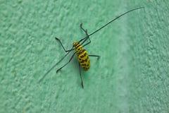 Amarelo do inseto Imagem de Stock Royalty Free