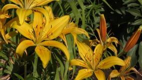 Amarelo do lírio do jardim no flecked filme