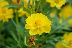 Amarelo do oleracea de Portulaca foto de stock