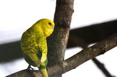 Amarelo do papagaio Fotos de Stock Royalty Free