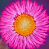 Amarelo do rosa da flor da palha imagens de stock royalty free