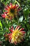 Amarelo dois com a dália vermelha nas folhas verdes Imagem de Stock Royalty Free