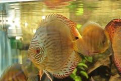 Amarelo dos peixes do aquário foto de stock