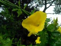 Amarelo dourado com uma trepadeira verde imagens de stock royalty free