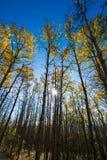 Amarelo dourado indo da árvore de Aspen em um dia ensolarado da queda Imagens de Stock Royalty Free