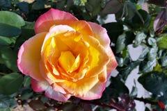 Amarelo e cor-de-rosa Foto de Stock
