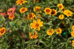 Amarelo e laranja floresce o close up Fotografia de Stock Royalty Free