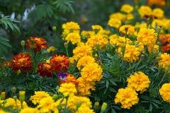 Amarelo e laranja floresce tagetes no período de florescência no canteiro de flores fotografia de stock royalty free