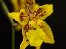 Amarelo e vermelho manchou o fim do macro da orquídea acima fotos de stock