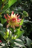Amarelo ensolarado com a dália vermelha nas folhas verdes Fotos de Stock