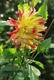 Amarelo ensolarado com a dália vermelha nas folhas verdes Fotografia de Stock Royalty Free
