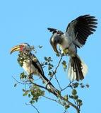 Amarelo-faturar-Hornbill de Kruger Imagens de Stock
