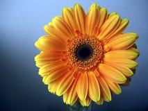 Amarelo - fim alaranjado da flor do Gerbera acima no fundo azul Foto de Stock