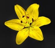 Amarelo isolado lilly Foto de Stock Royalty Free