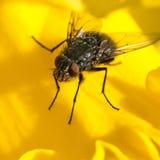 Amarelo maduro Fotos de Stock Royalty Free