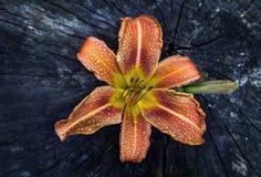 Amarelo-marrom lilly Imagem de Stock Royalty Free