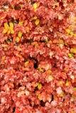 Amarelo molhe as folhas na árvore Imagem de Stock Royalty Free