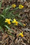 Amarelo naturalizado de florescência da mola e narcisos amarelos do ouro fotografia de stock