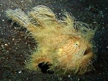 Amarelo peludo do Frogfish Fotografia de Stock