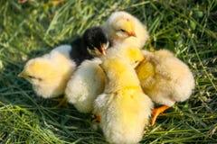 Amarelo poucas galinhas em um gramado em uma exploração agrícola fotos de stock royalty free