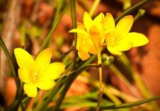 Amarelo rainlily Imagens de Stock