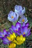 Amarelo, roxo e azul do açafrão Imagens de Stock