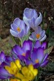 Amarelo, roxo e azul do açafrão Fotografia de Stock
